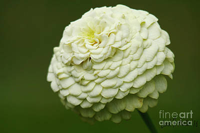 Photograph - White Flower Zinnia Wall Art Decor Print by Carol F Austin