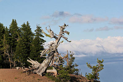 Bleached Tree Photograph - Whitebark Pine At Crater Lake's Rim - Oregon by Christine Till