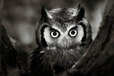 Animals Photos - Whitefaced Owl by Johan Swanepoel