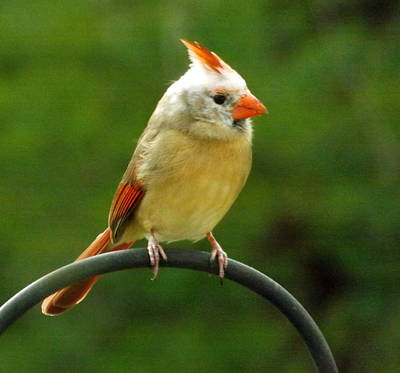 Photograph - Whiteheaded Female Cardinal by Colette Merrill