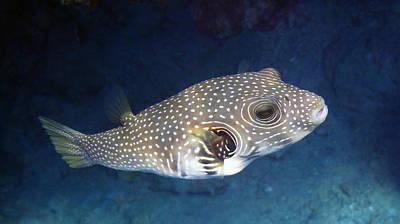 Whitespotted Pufferfish Closeup Art Print