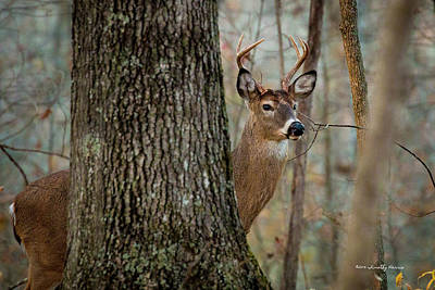 Photograph - Whitetail #31 by Timothy Harris