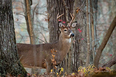 Photograph - Whitetail #60 by Timothy Harris