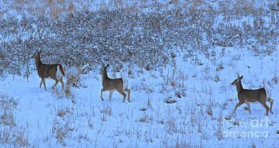Photograph - Whitetail by Ann E Robson