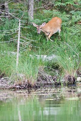 Photograph - Whitetail At Sage Lake by Michael Peychich