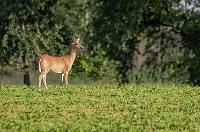 Photograph - Whitetail Buck 2018-2 by Thomas Young