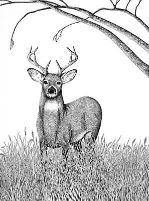 Whitetail Buck Print by Virginia McLaren