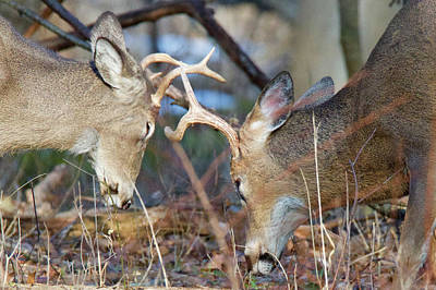 Trophy Buck Photograph - Whitetail Bucks 5754 by Michael Peychich