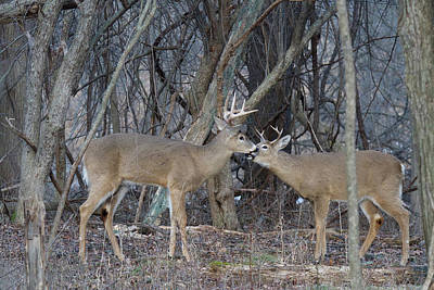 Trophy Buck Photograph - Whitetail Bucks 5795 by Michael Peychich