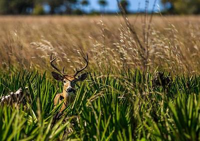 Photograph - Whitetail by Christopher Perez