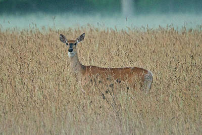 Photograph - Whitetail Deer 5380 by Michael Peychich