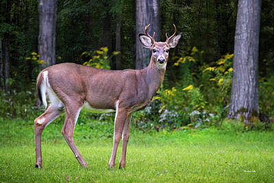 Photograph - Whitetail Deer Buck by Christina Rollo
