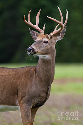 Photograph - Whitetail Deer Buck by Kevin McCarthy