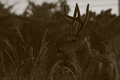 Photograph - Whitetail Deer Eight Point Buck by Christopher Kirby