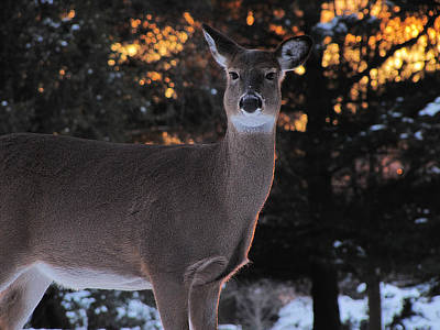 Photograph - Whitetail Deer by Scott Hovind