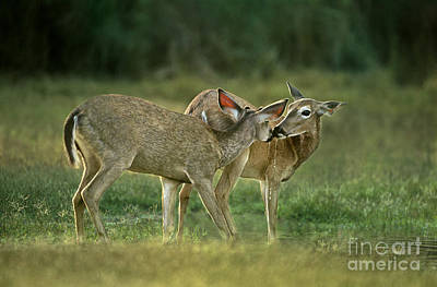 Photograph - Whitetail Deer Share An Initmate Moment Texas Wildlife by Dave Welling