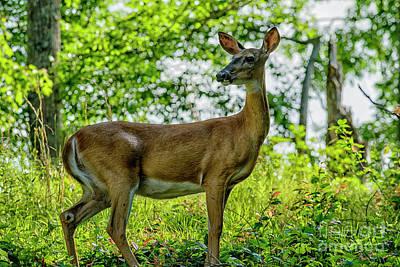 Whitetail Deer  Art Print by Thomas R Fletcher