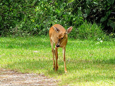 Photograph - Whitetail Doe 050  by Chris Mercer