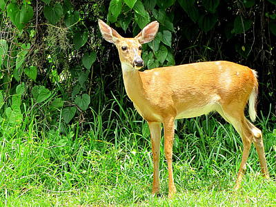 Photograph - Whitetail Doe 051 by Chris Mercer