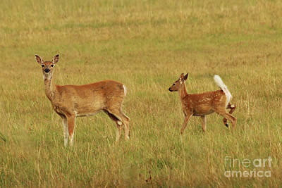 Photograph - Whitetail Doe And Fawn by Alyce Taylor
