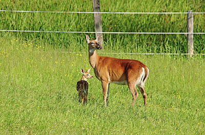 Photograph - Whitetail Doe And Fawn by Debbie Oppermann