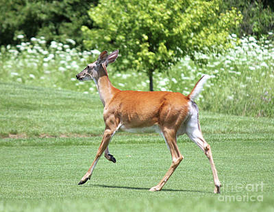 Whitetail Doe On The Run Print by Steve Gass