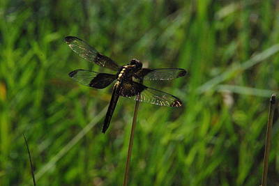 Photograph - Whitetail Dragonfly 1 by Robyn Stacey
