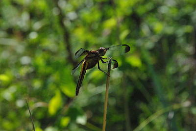 Photograph - Whitetail Dragonfly 2 by Robyn Stacey