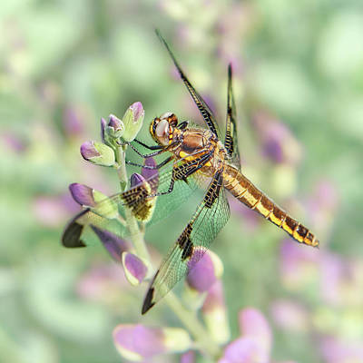Macro Dragonfly Photograph - Whitetail Dragonfly On False Indigo 2 by Jim Hughes