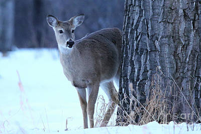 Photograph - Whitetail Fawn by Alyce Taylor