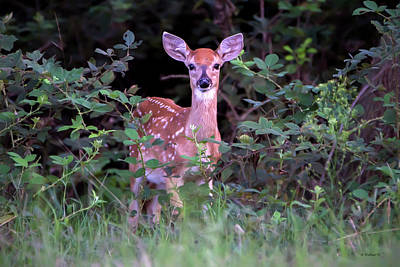Photograph - Whitetail Fawn by Brian Wallace