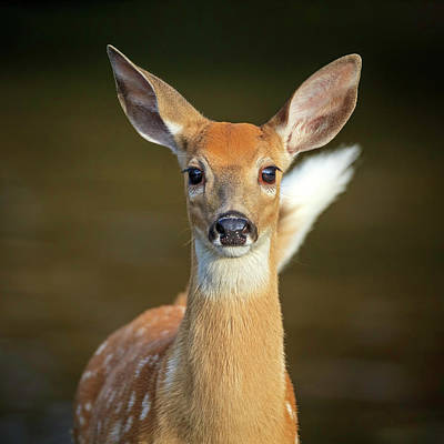 Photograph - Whitetail Fawn by Jack Bell