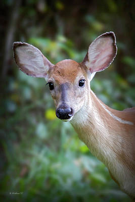 Photograph - Whitetail Fawn Portrait by Brian Wallace