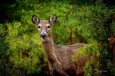 Whitetail In The Pines Art Print