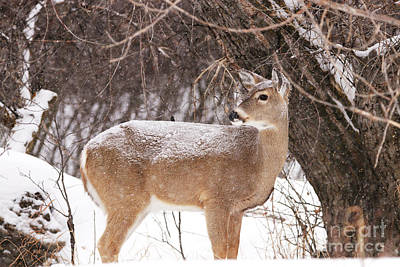 Photograph - Whitetail In The Snow by Alyce Taylor