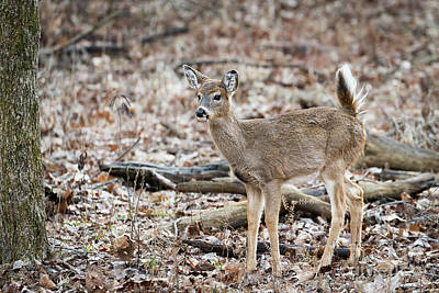 Photograph - Whitetail Salute by Andrea Silies