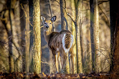 Photograph - Whitetail Winter Morning by Timothy Harris