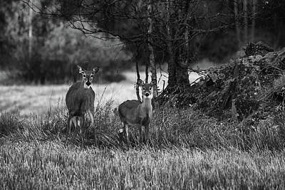 Photograph - Whitetailed Deers by Jouko Lehto