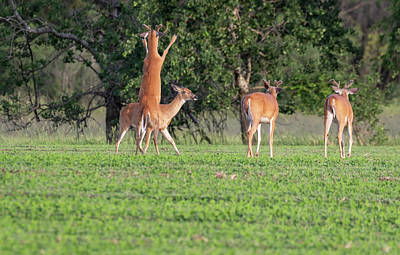 Photograph - Whitetails 2018-2 by Thomas Young