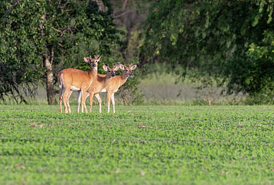 Photograph - Whitetails 2018-4 by Thomas Young