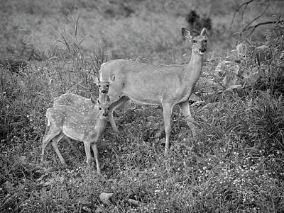 Photograph - Whitetails 2018-6 by Thomas Young