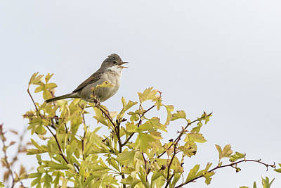 Animals Royalty-Free and Rights-Managed Images - Whitethroat  by Chris Smith
