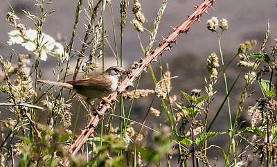 Firefighter Patents - Whitethroat in a Hedgerow by Jeff Townsend