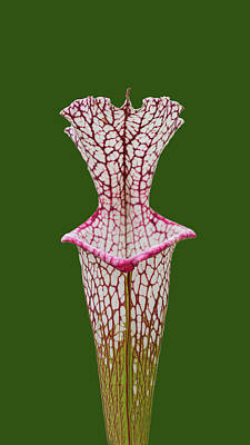 Photograph - Whitetop Pitcherplant On Green by Paul Rebmann