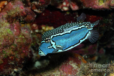 Photograph - Whitleys Boxfish by Aaron Whittemore