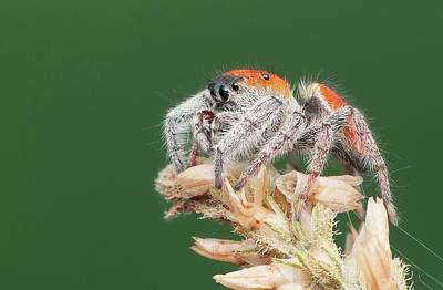 Whitman's Jumping Spider Art Print by Derek Thornton