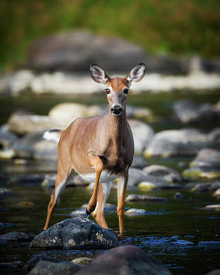 White Tail Deer Photograph - Who Goes There by Bill Wakeley