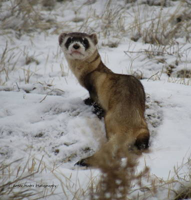 Black-footed Ferret Photograph - Who Me by Renee Moore