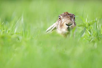 European Hare Wall Art - Photograph - Who? Moi....? by Roeselien Raimond