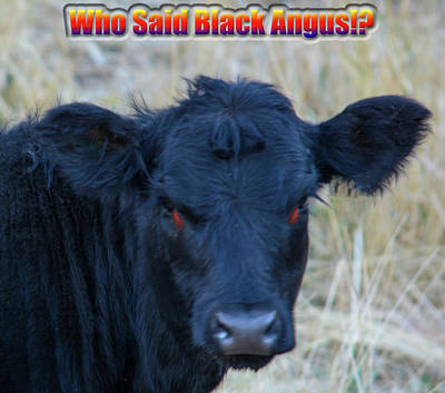 Photograph - Who Said Black Angus by Tikvah's Hope